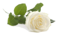 hochzeit weiz graz umgebung almenland, heiraten weiz graz umgebung almenland, hochzeitslocation weiz graz umgebung almenland - weiße Rose1